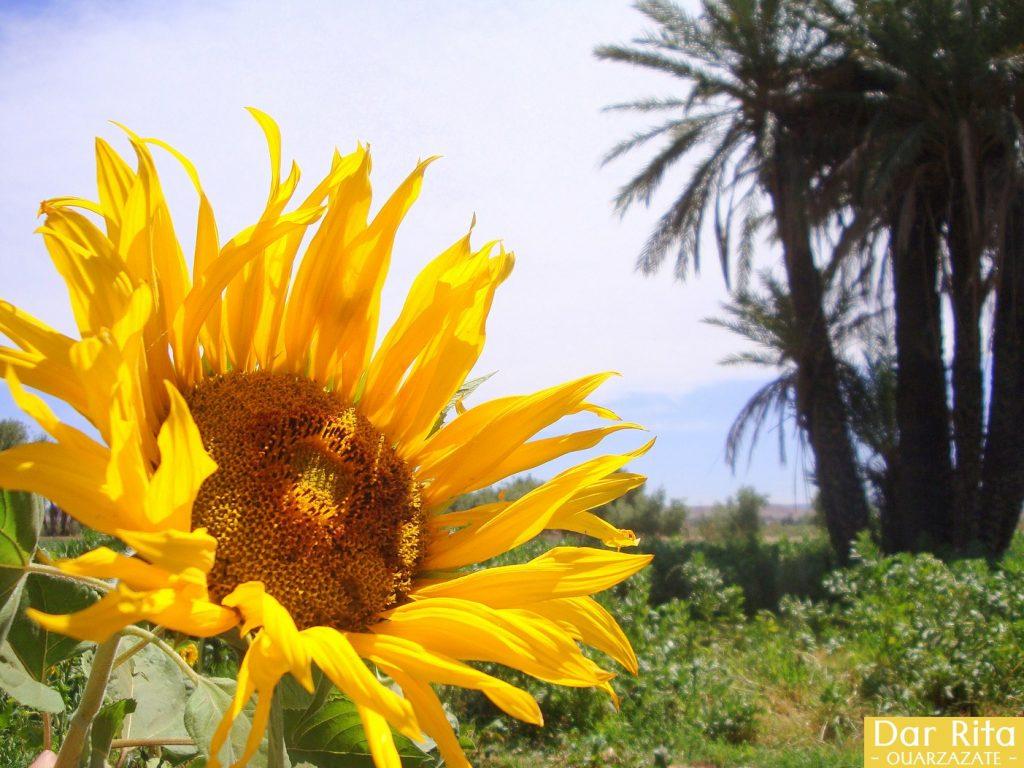 Photo of a beautiful sunflower in Tassoumaat river bank in Ouarzazate