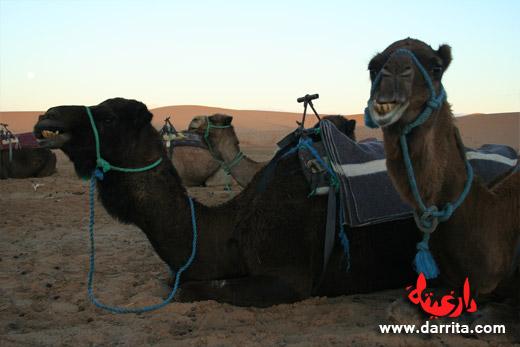 Camelo perto das Dunas de Erg Chebbi - Merzouga, Sul de Marrocos