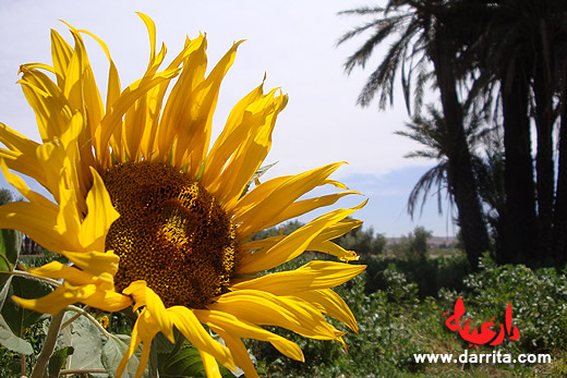 Photo of a beautiful sunflower in Tassoumaat river bank in Ouarzazate