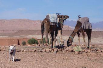 Jana em Ait Benhaddou, Ouarzazate, com os Camelos